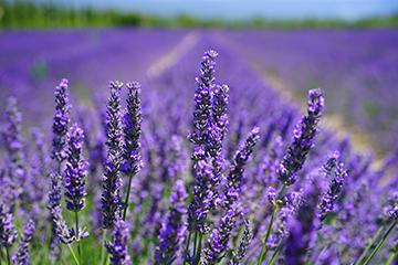 Pflanze_11_Lavendel_2418x1598mm