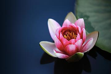 Pflanze_12_Wasserlilie_1541x1014mm