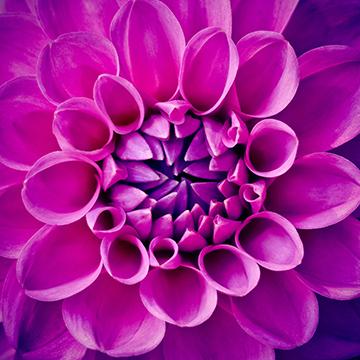 Pflanze_14_Dahlie_1001x1001mm
