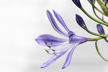 Pflanze_1_Agapanthus_2083x1385mm