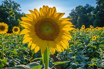 Pflanze_3_Sonnenblume_3316x2187mm